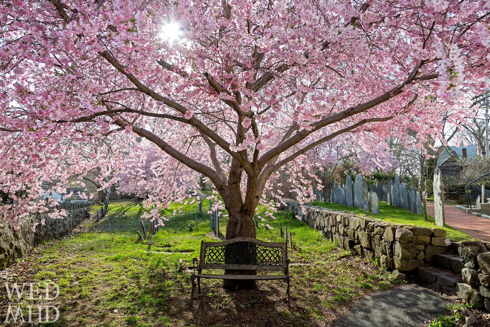 The Bench under the Cherry Blossoms at Harris Street Cemetery