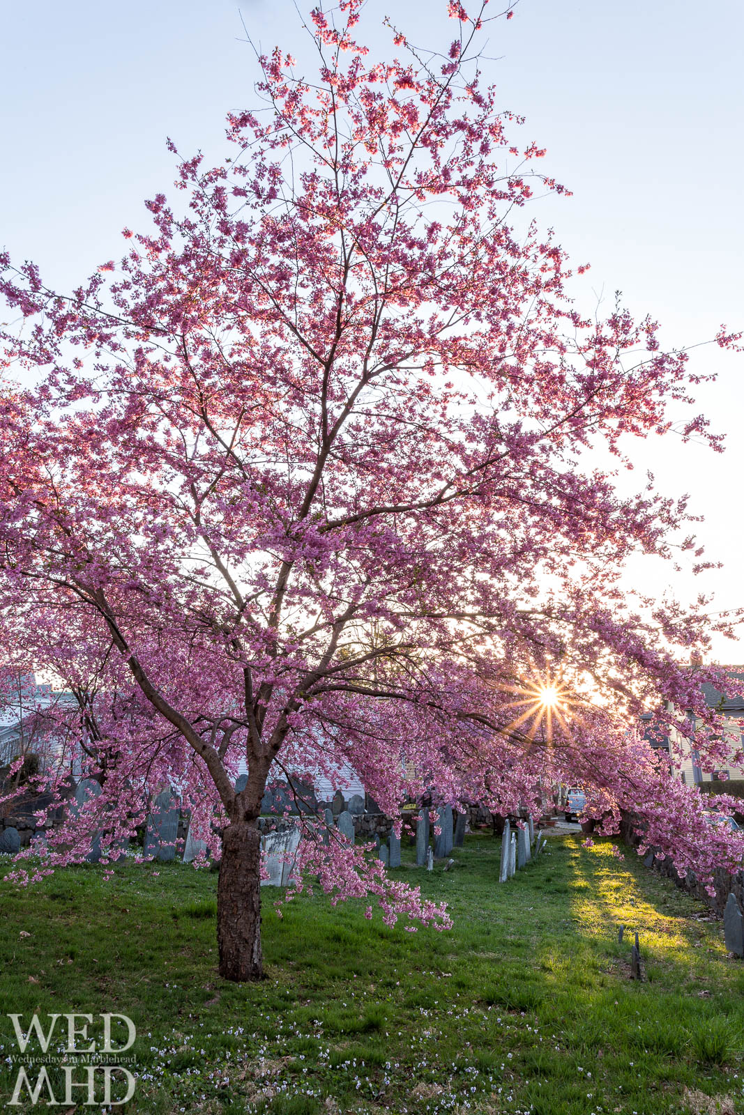 Cherry Blossoms at Peak Bloom – Harris Street Cemetery