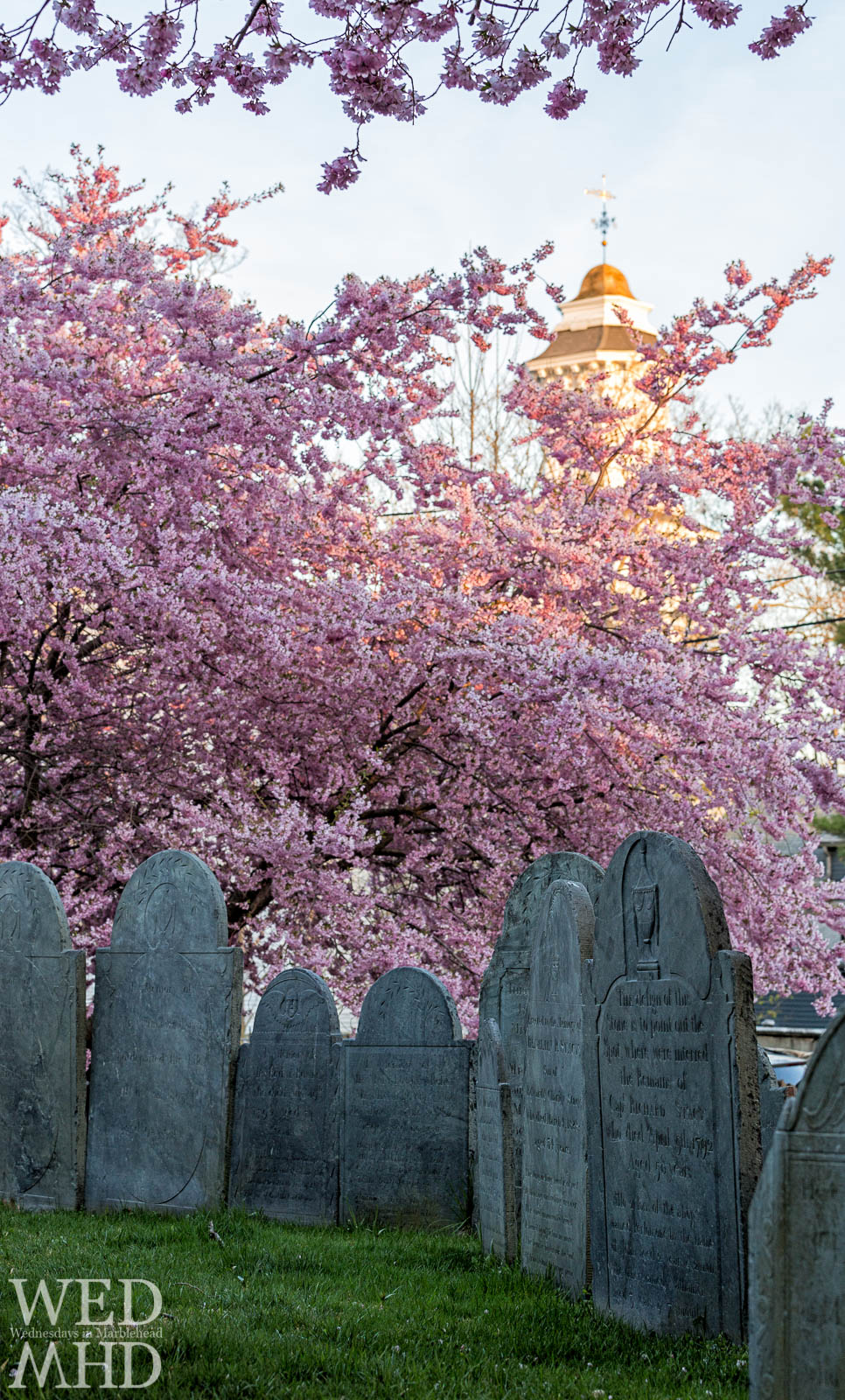 cherry blossoms among gravestones
