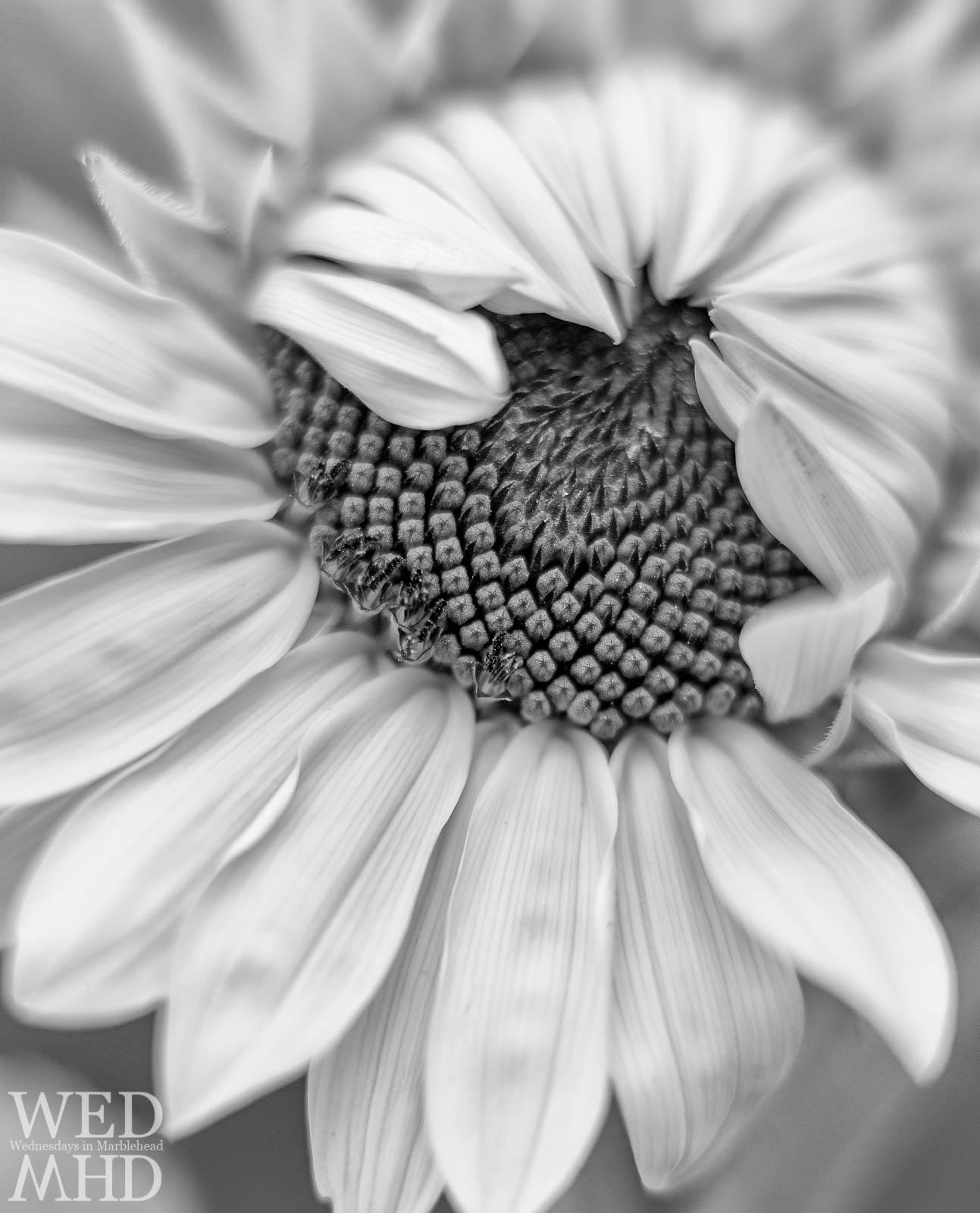 Half-Opened Sunflower