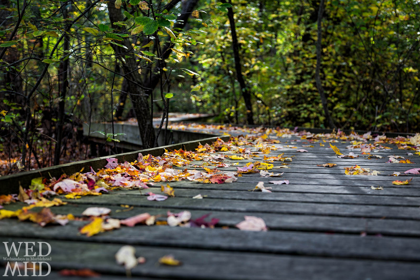 Fallen Leaves on the Path to Ware Pond