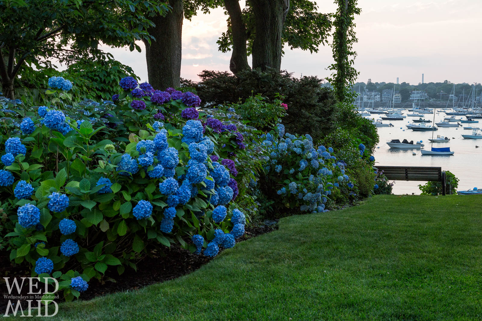Blue Hydrangeas and Marblehead Harbor