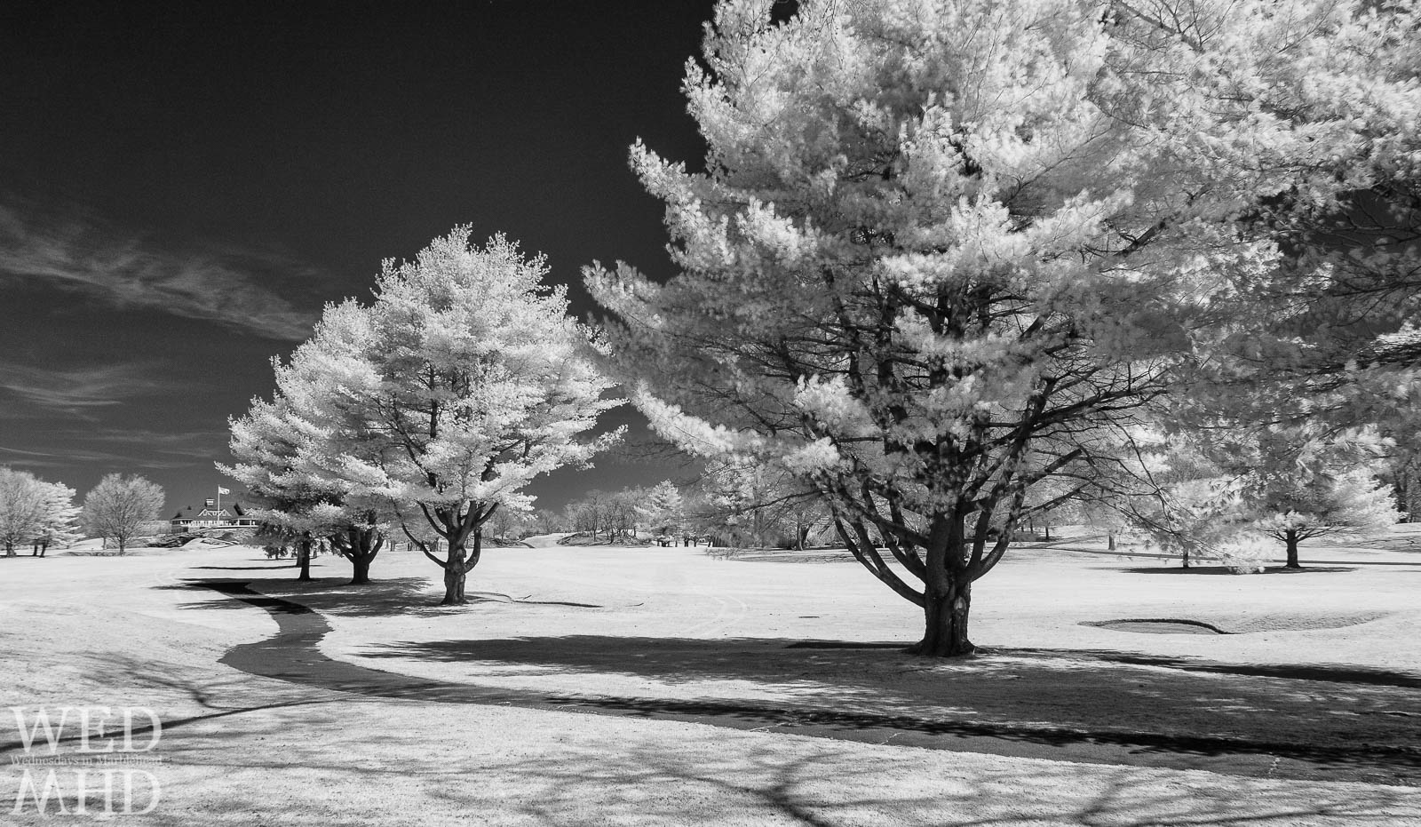A road leads to Tedesco Country Club past trees with white leaves in this black and white infrared image