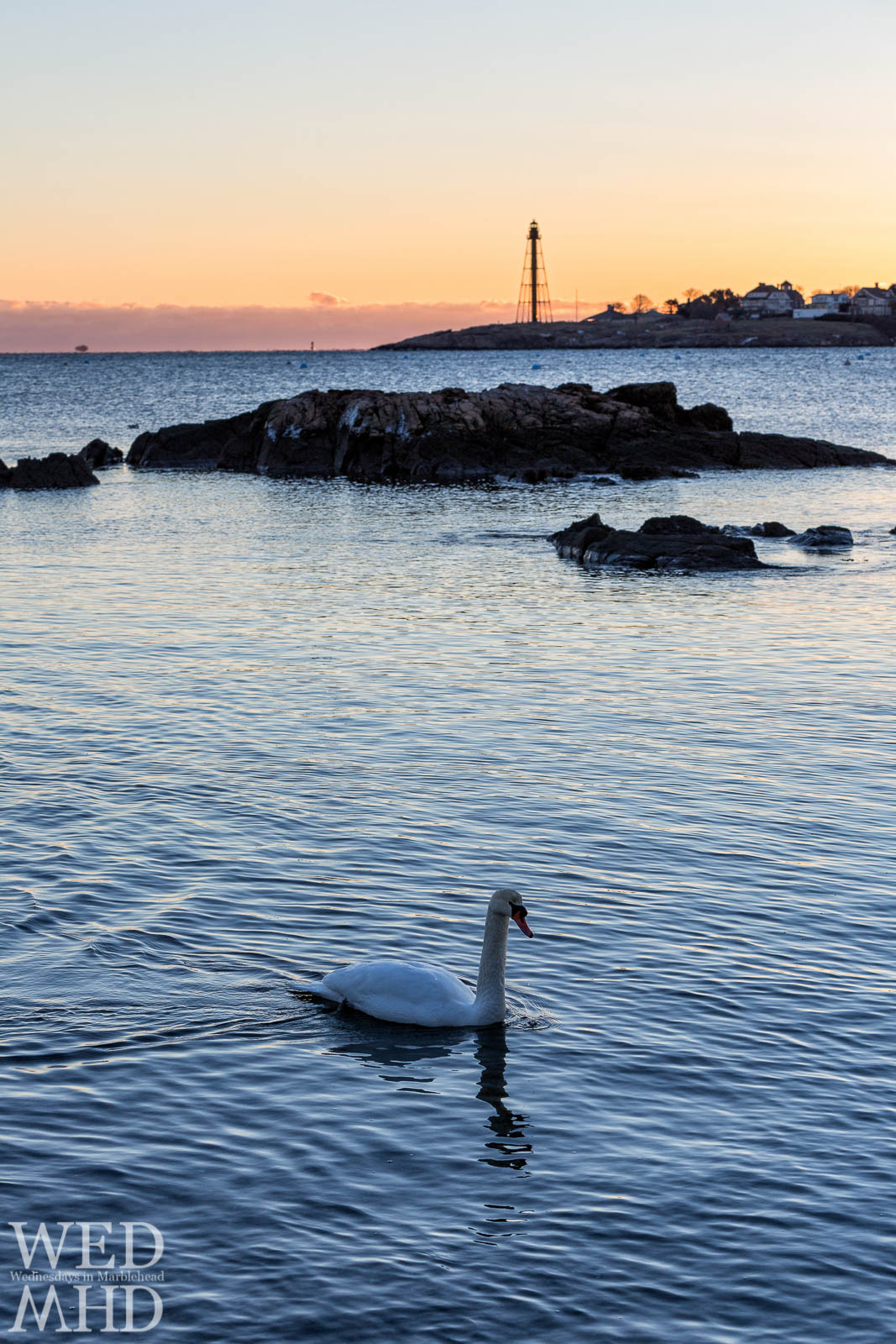 Swan swims in front of Marblehead Lighthouse at dawn