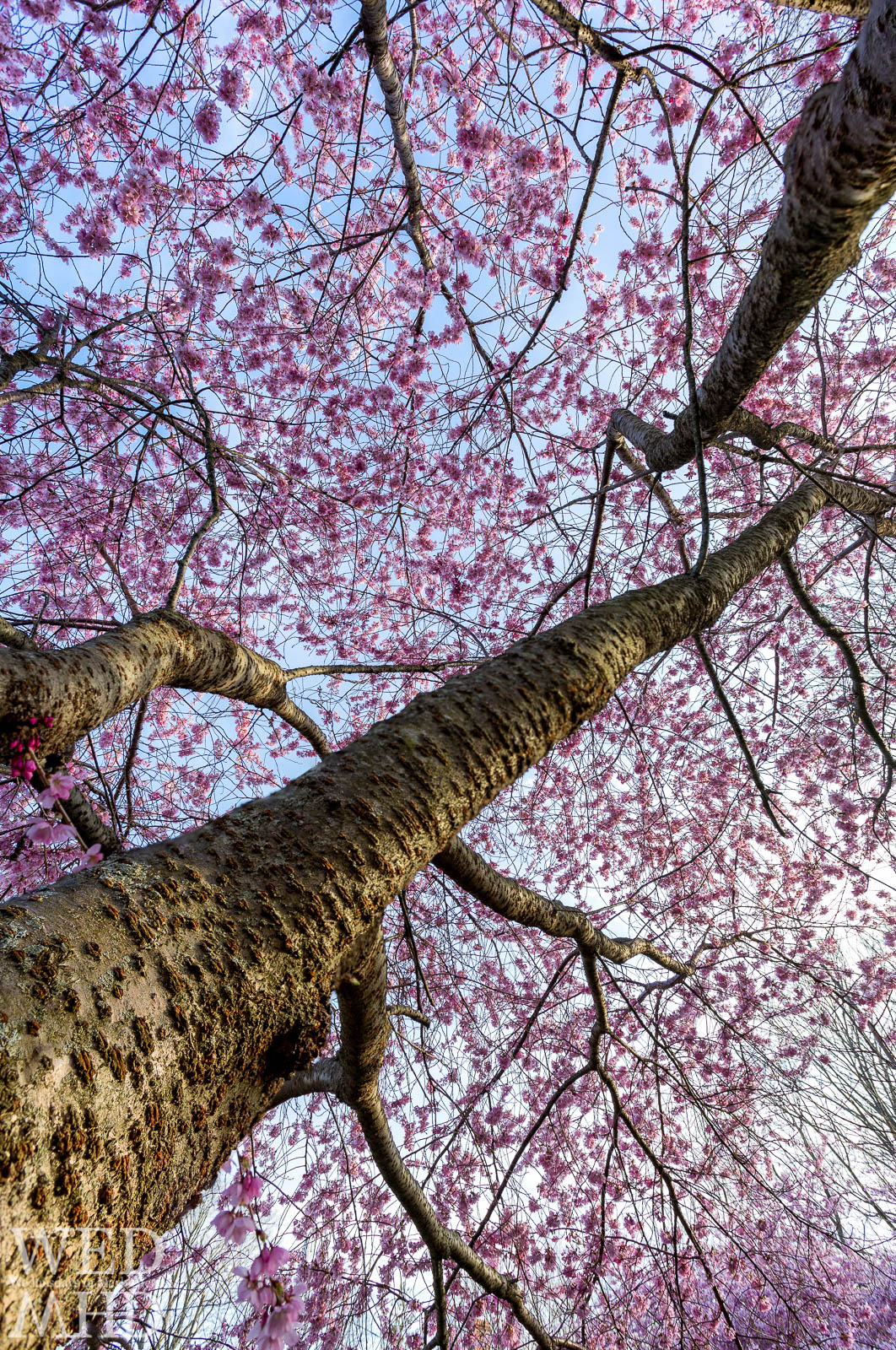 Looking up at the canopy of a cherry blossom tree