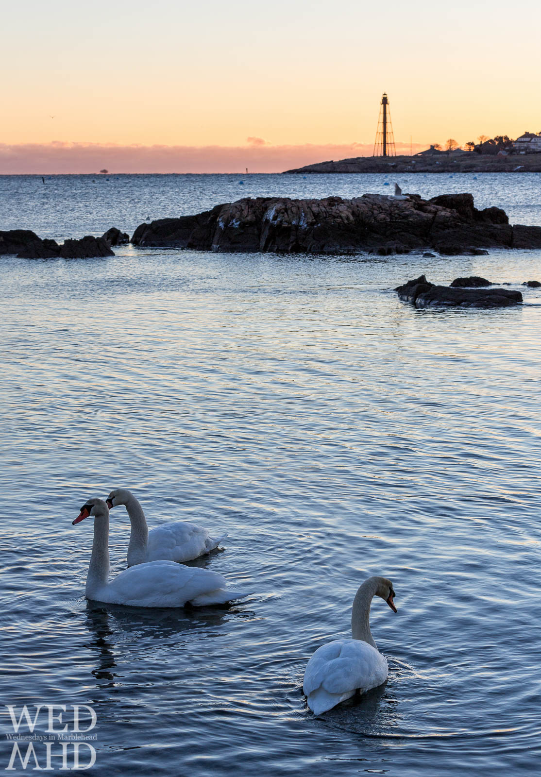 Swans swimming in the waters or Fort Beach in Marblehead