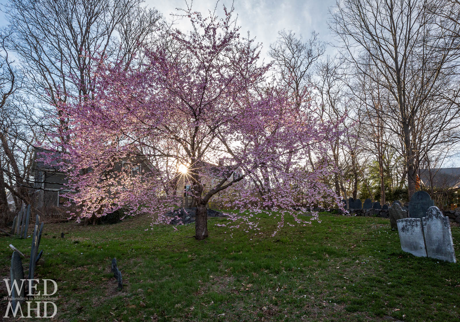 A sunstar is captured between tree branches of a cherry blossom in full bloom