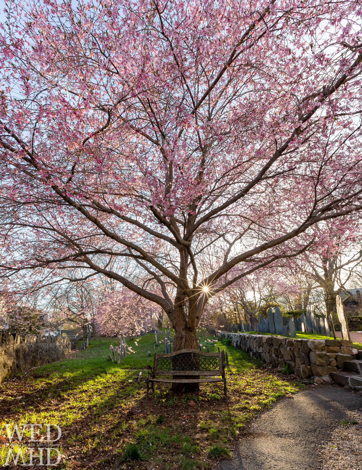 A trio of cherry blossom trees blooms in the Harris Street Cemetary in Marblehead