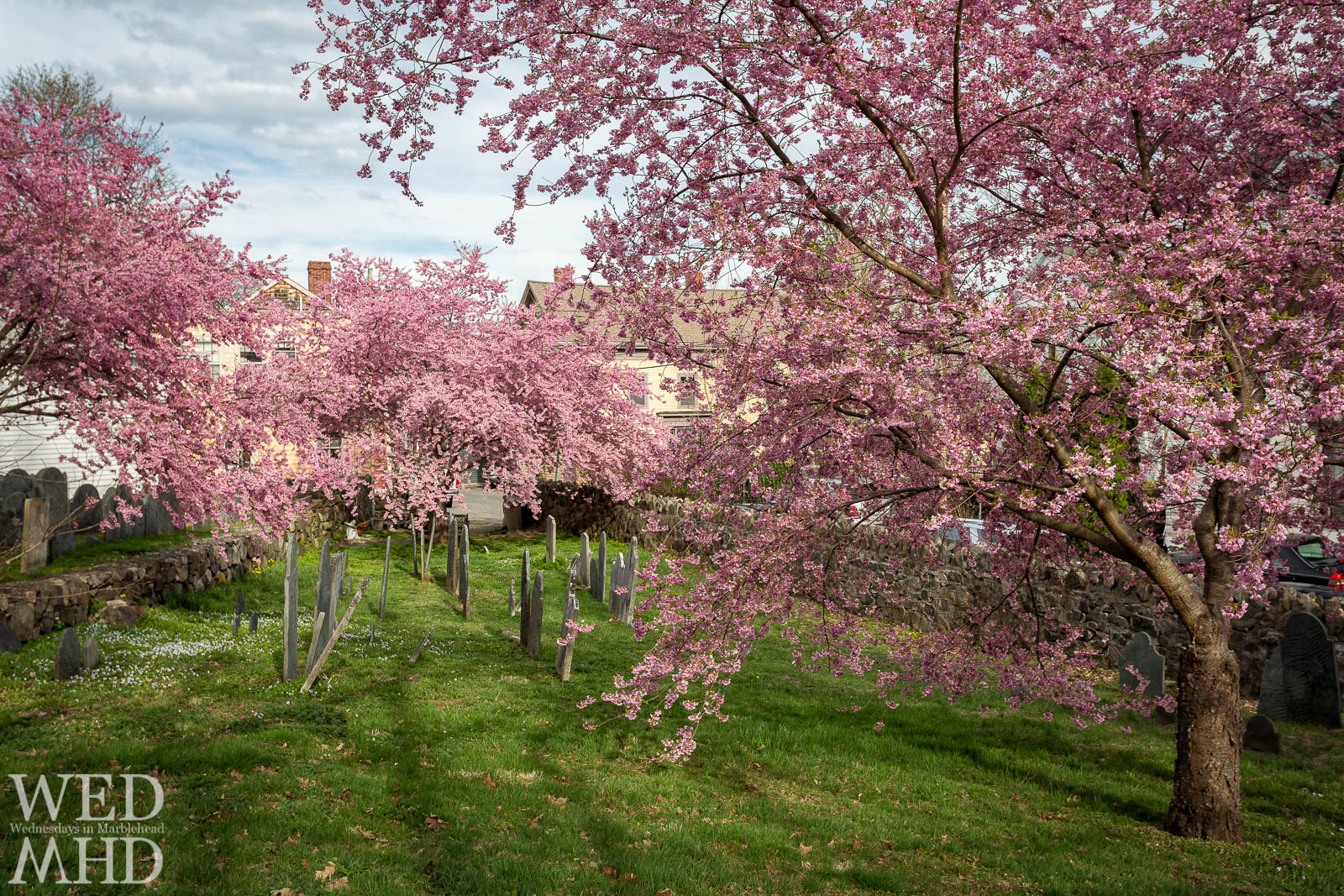 Remembering the blossoms at the Harris Street Cemetery during this Spring without flowers