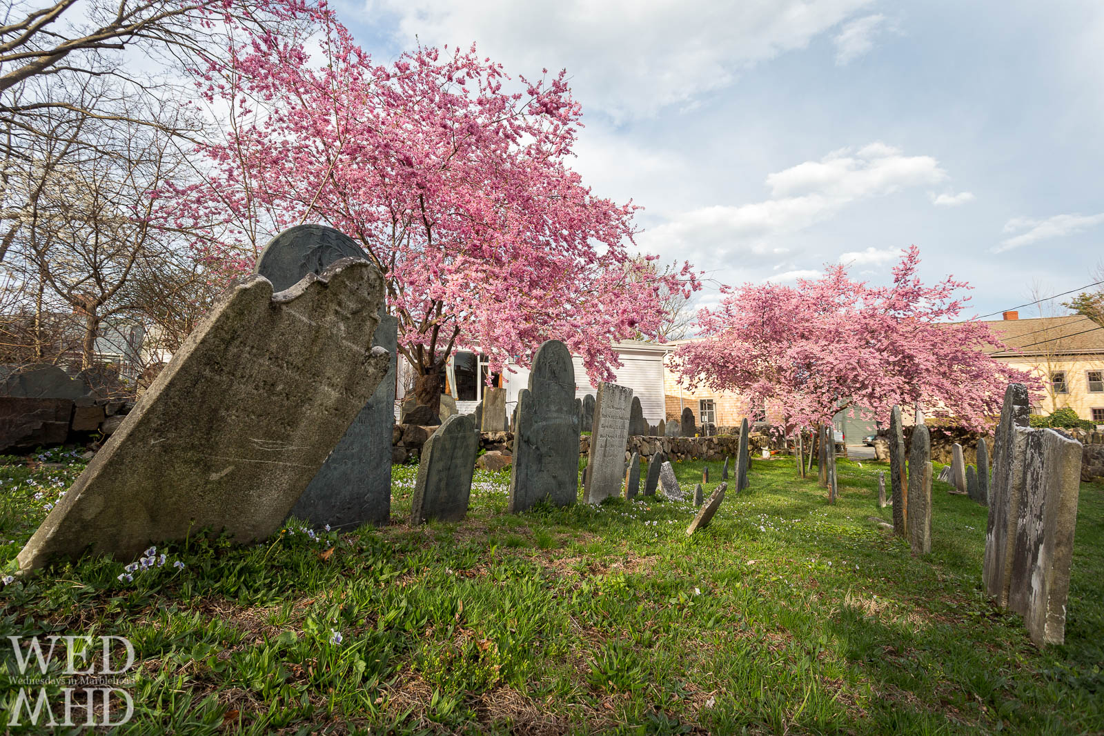 Cherry blossoms in full bloom add a touch of Spring to the Harris Street cemetary