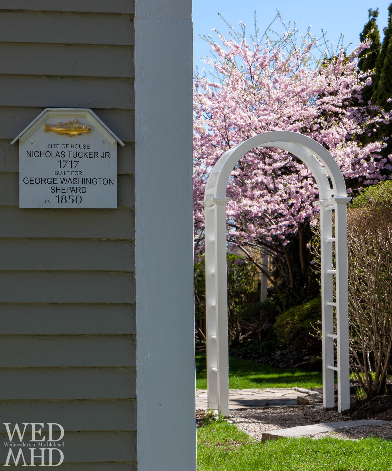 A house sign in Marblehead displays the golden cod as a cherry blossom reaches full bloom in the background
