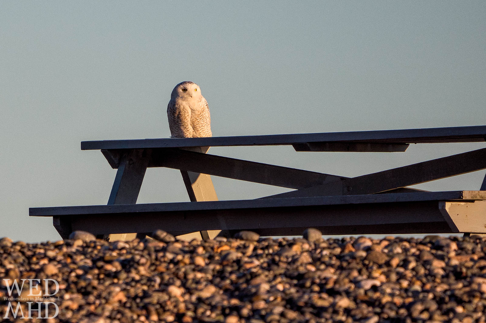 A snowy owl perches on a familiar picnic table in Marblehead