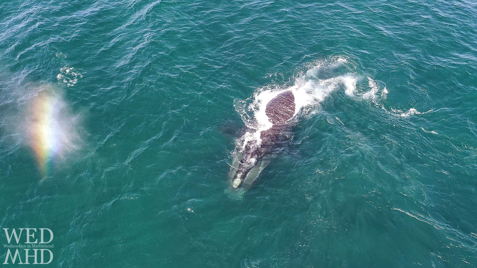 A right whale is seen from this aerial view in the waters off Marblehead with a plume of water creating a rainbow in the sky