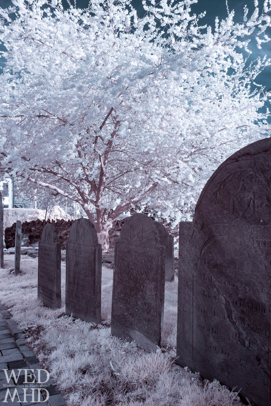 A view of cherry blossoms with an infrared camera contrasts the stark white flowers with dark gravestones