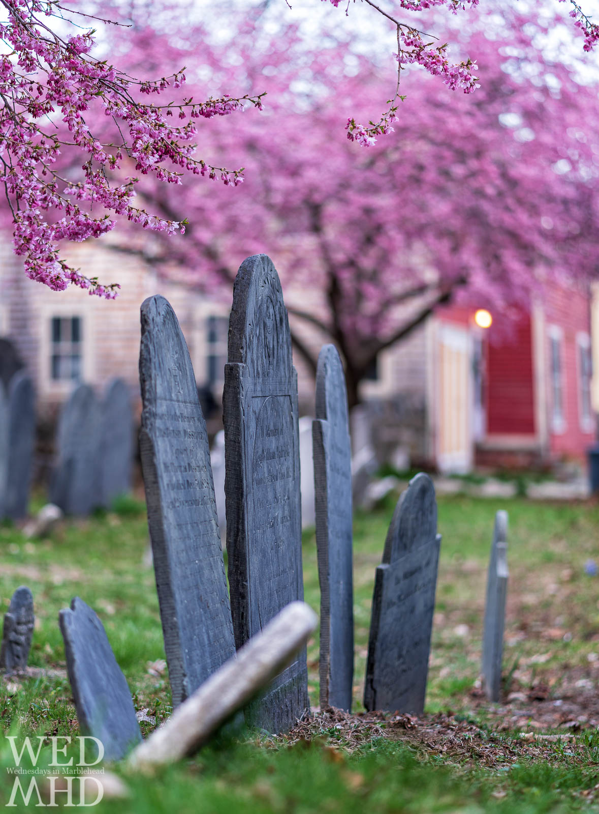 After a several year hiatus peak cherry blossoms have returned to the Harris Street Cemetary in Marblehead