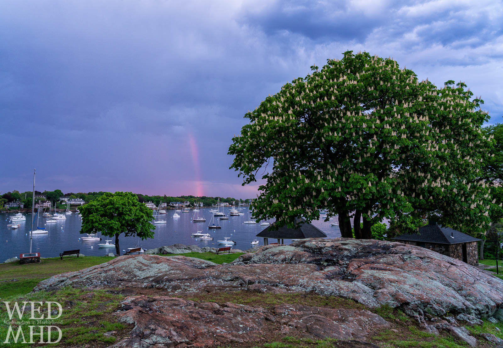 The chestnut tree at Crocker park reaches full bloom as a pink rainbow appears over Marblehead Harbor