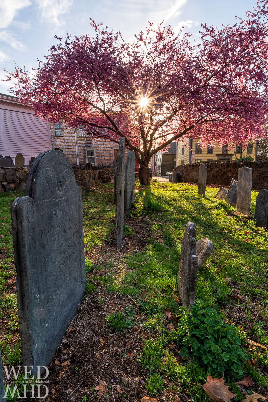 The sun is captured in a burst of light shining through the blossoms at the Harris Street cemetery