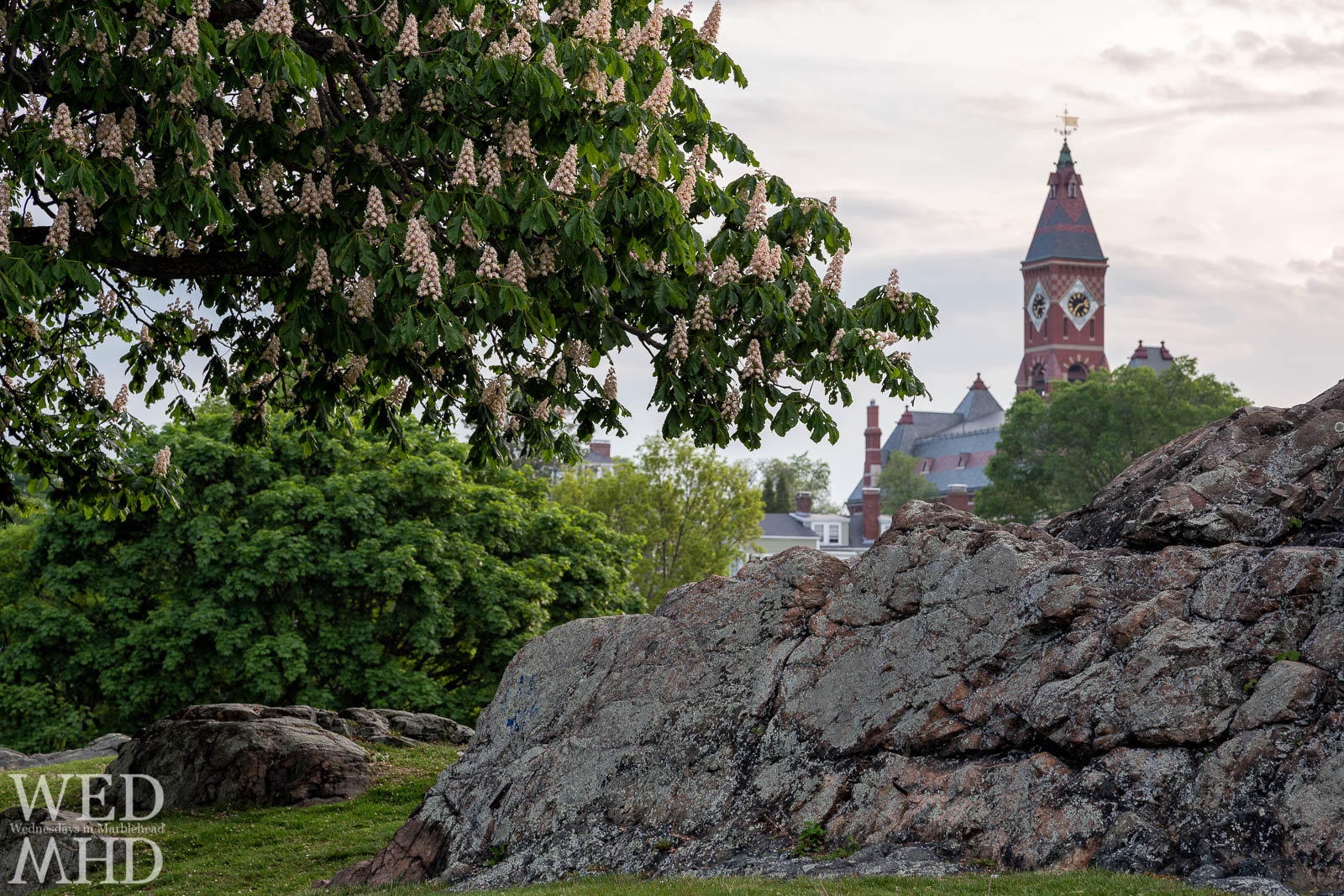 The chestnut tree at Crocker Park reaches peak blossom on a late May evening in Marblehead