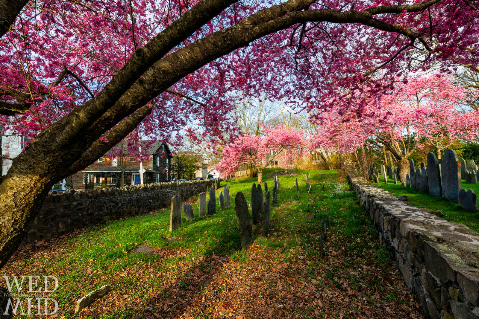 The Harris Street cemetery cherry blossoms are captured at peak bloom on this late April morning with the sun illuminating the delicate pink flowers
