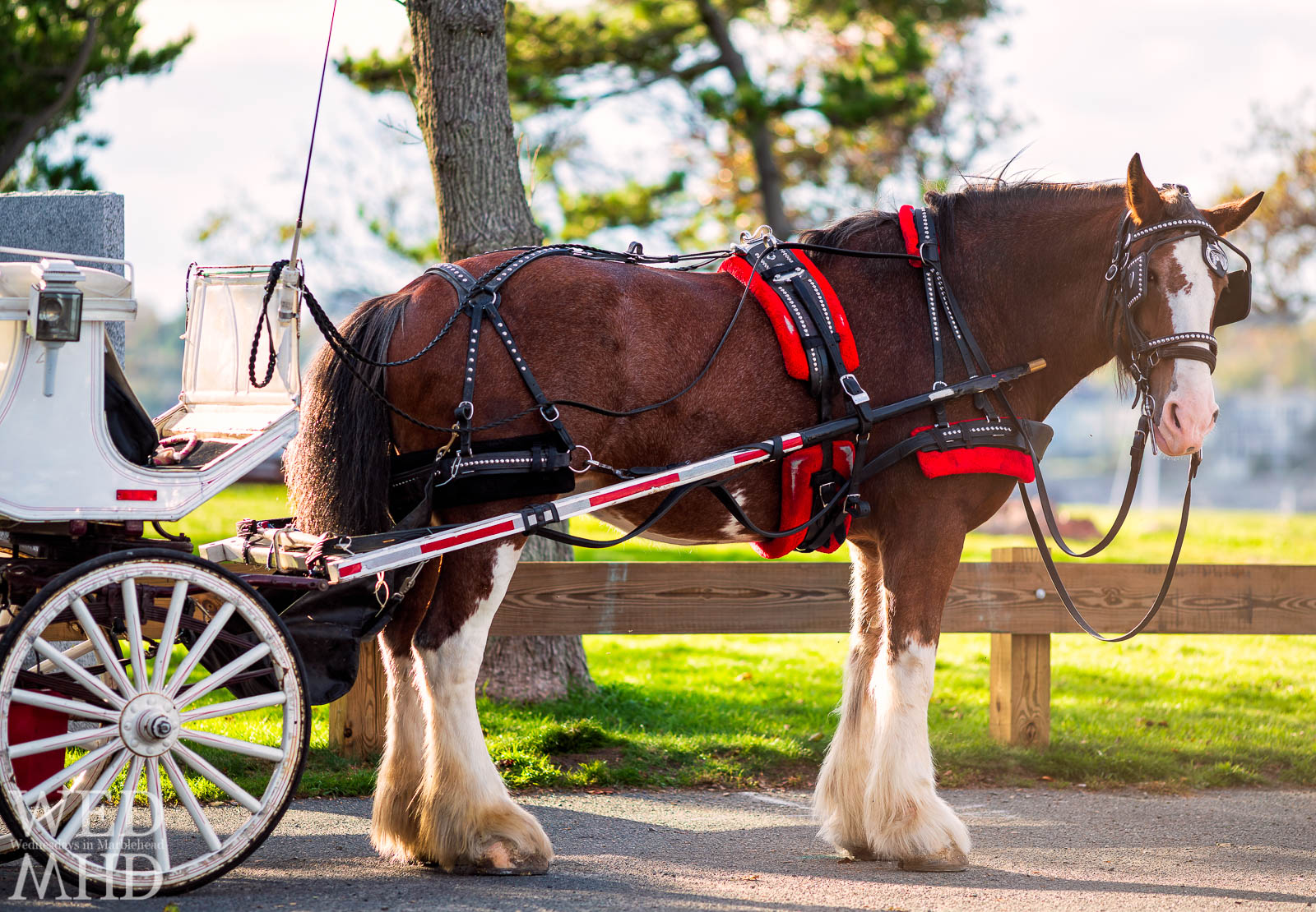 A horse named Nellie is backlit at Chandler Hovey Park after delivering newlyweds to Marblehead Light