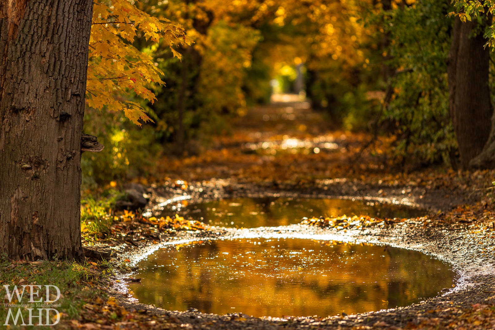 A pool of rainwater appears as liquid gold with fall foliage reflecting in its still surface on Ware Lane