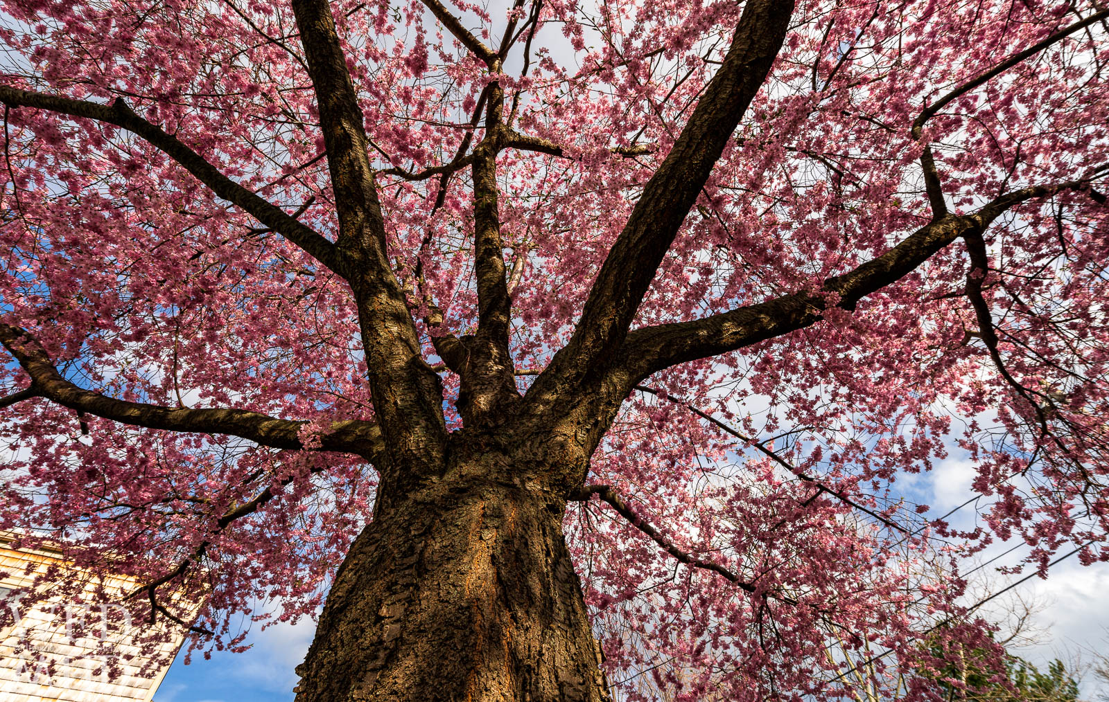 Staring up at a full canopy of cherry blossoms in the Harris Street cemetery as the trees reach peak bloom on a mid April evening in Marblehead