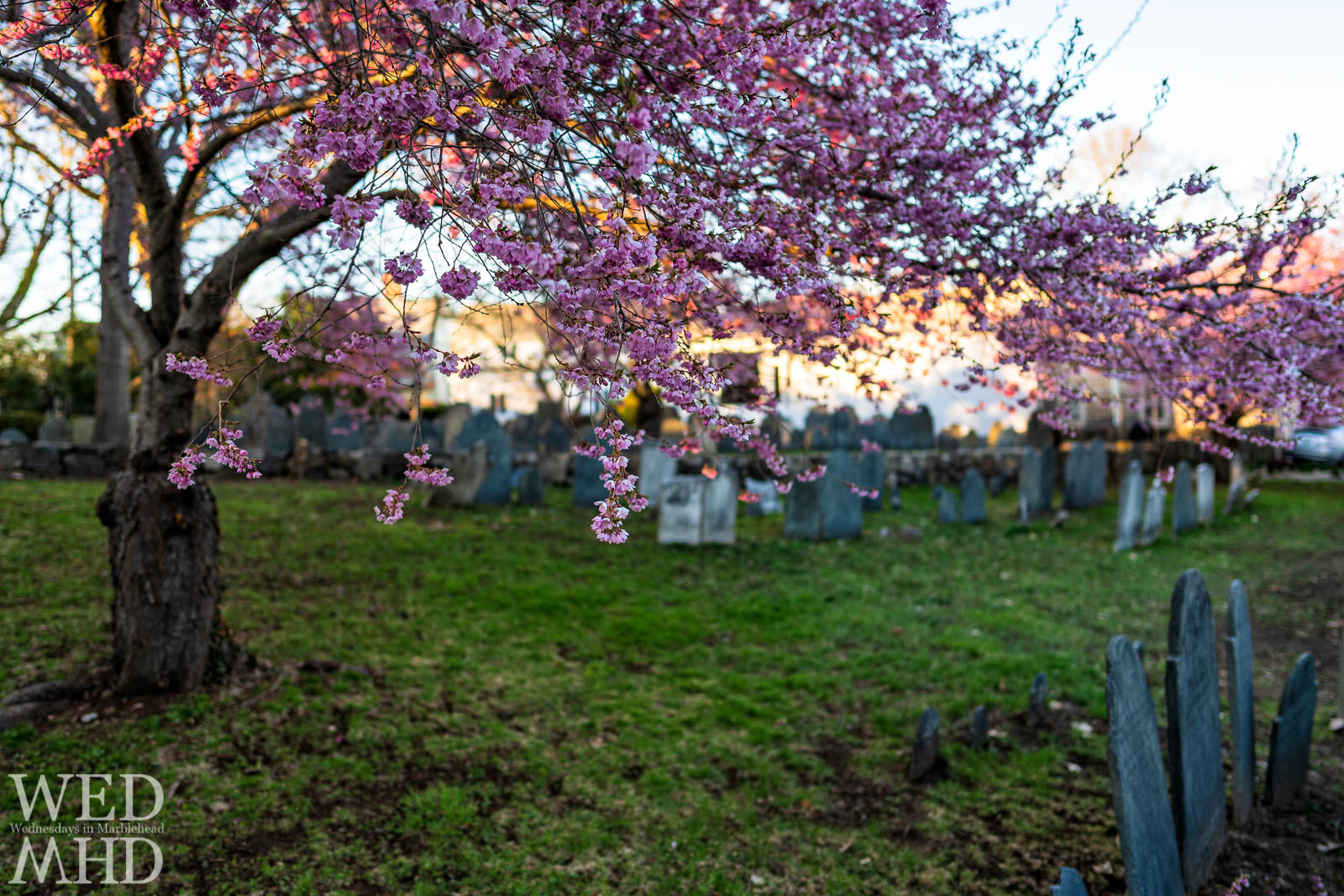 Springs arrival is signaled by cherry blossom season with peak blooms at the Harris Street Cemetery