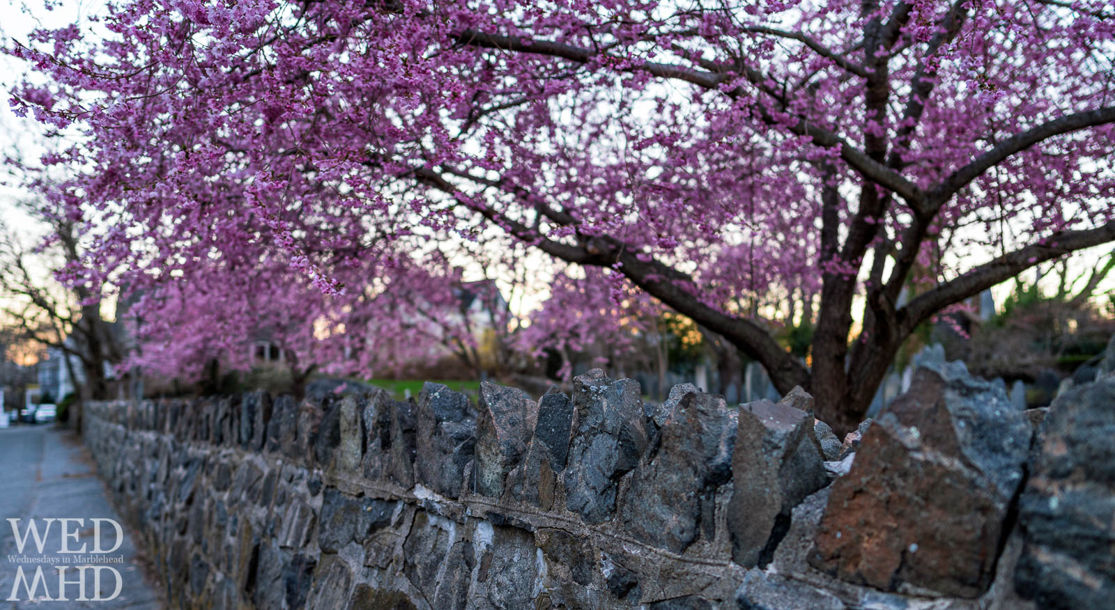 A rock wall separates the cemetery from Harris Street with three cherry blossom trees in full bloom filling the sky with purple flowers