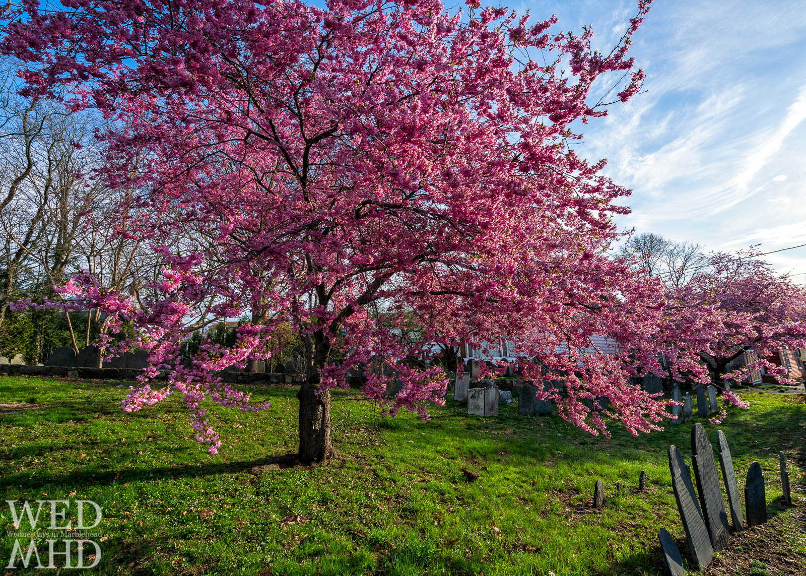 Spring arrives and with it the cherry blossoms of Harris Street cemetery in Marblehead