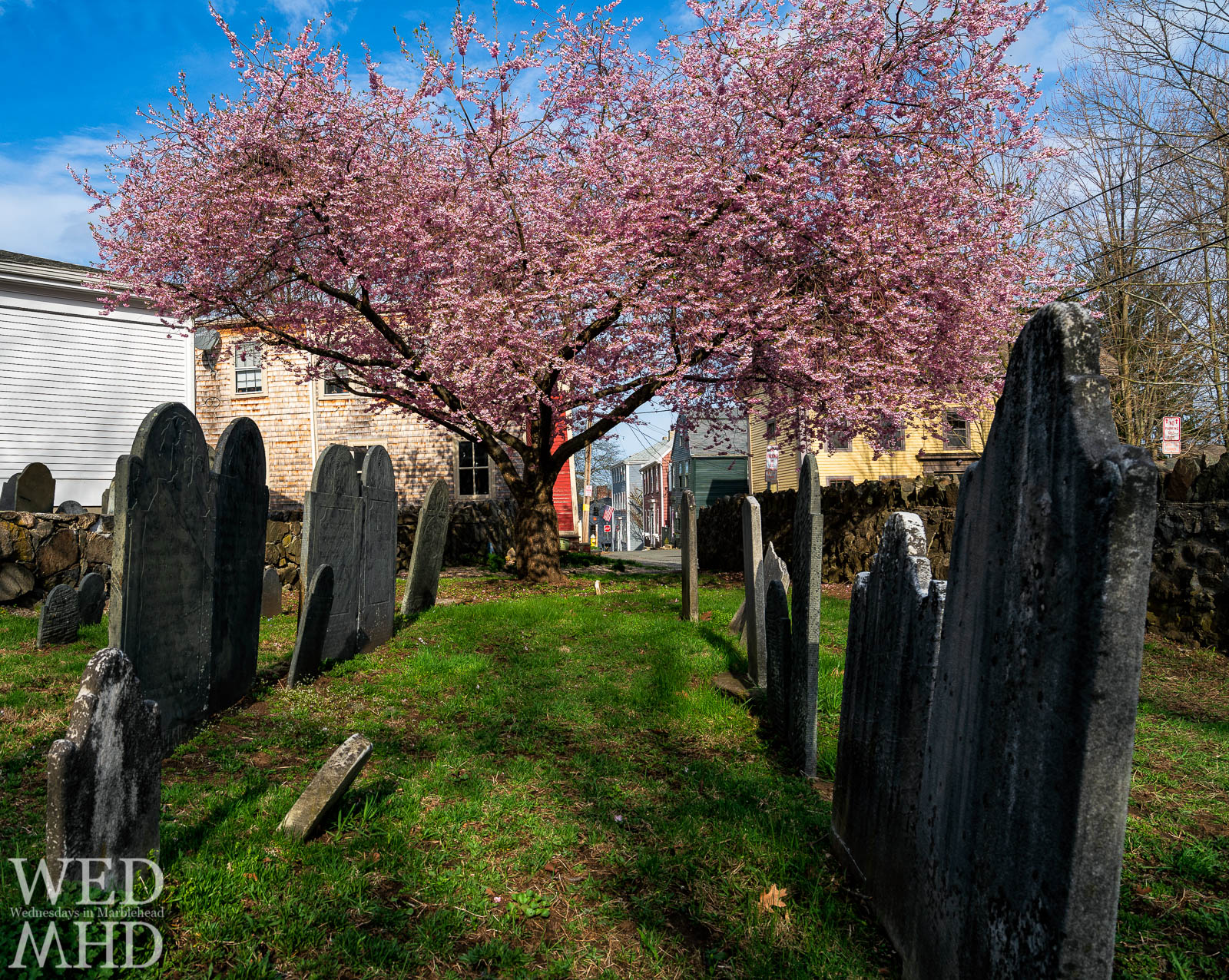 A cherry blossom tree in full bloom marks the entrance to the Harris Street cemetery with views of houses and an American flag just beyond its canopy