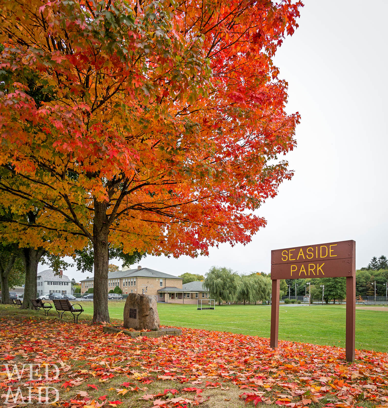 A tree changes its colors at Seaside Park with a vibrant display of fall foliage as cooler weather arrives in Marblehead