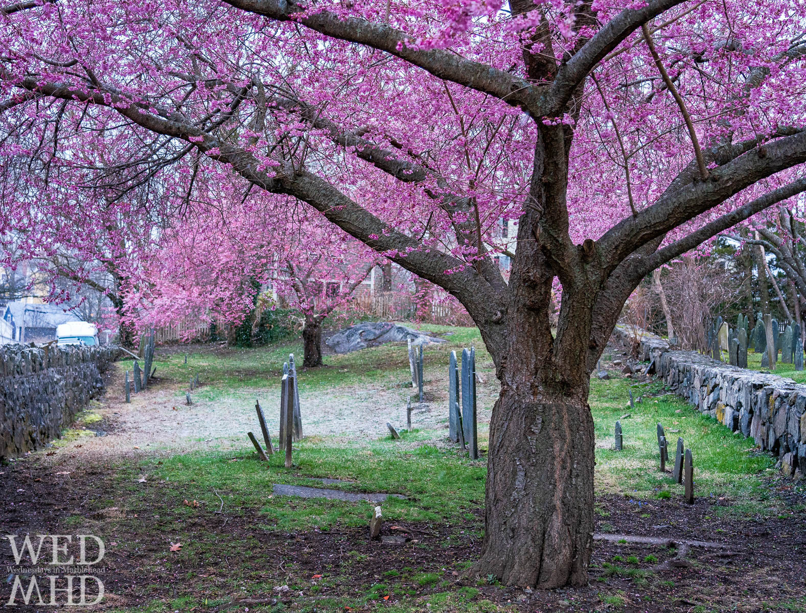 Snow falls as cherry blossoms near their peak at the Harris Street cemetery