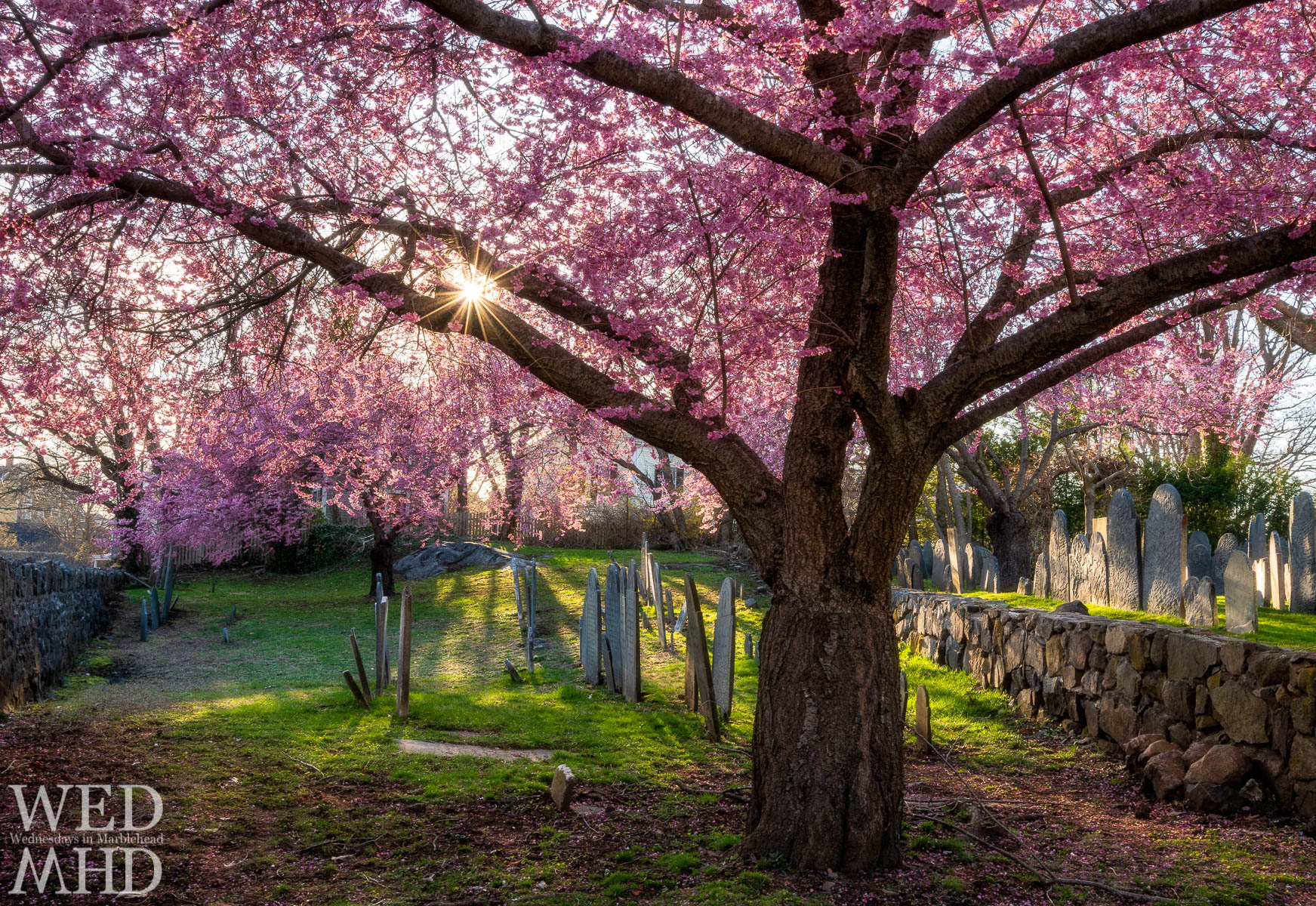 Nothing solidifies the feeling that spring is in the air like capturing a sun star through the branches of a cherry blossom tree at the Harris Street cemetery
