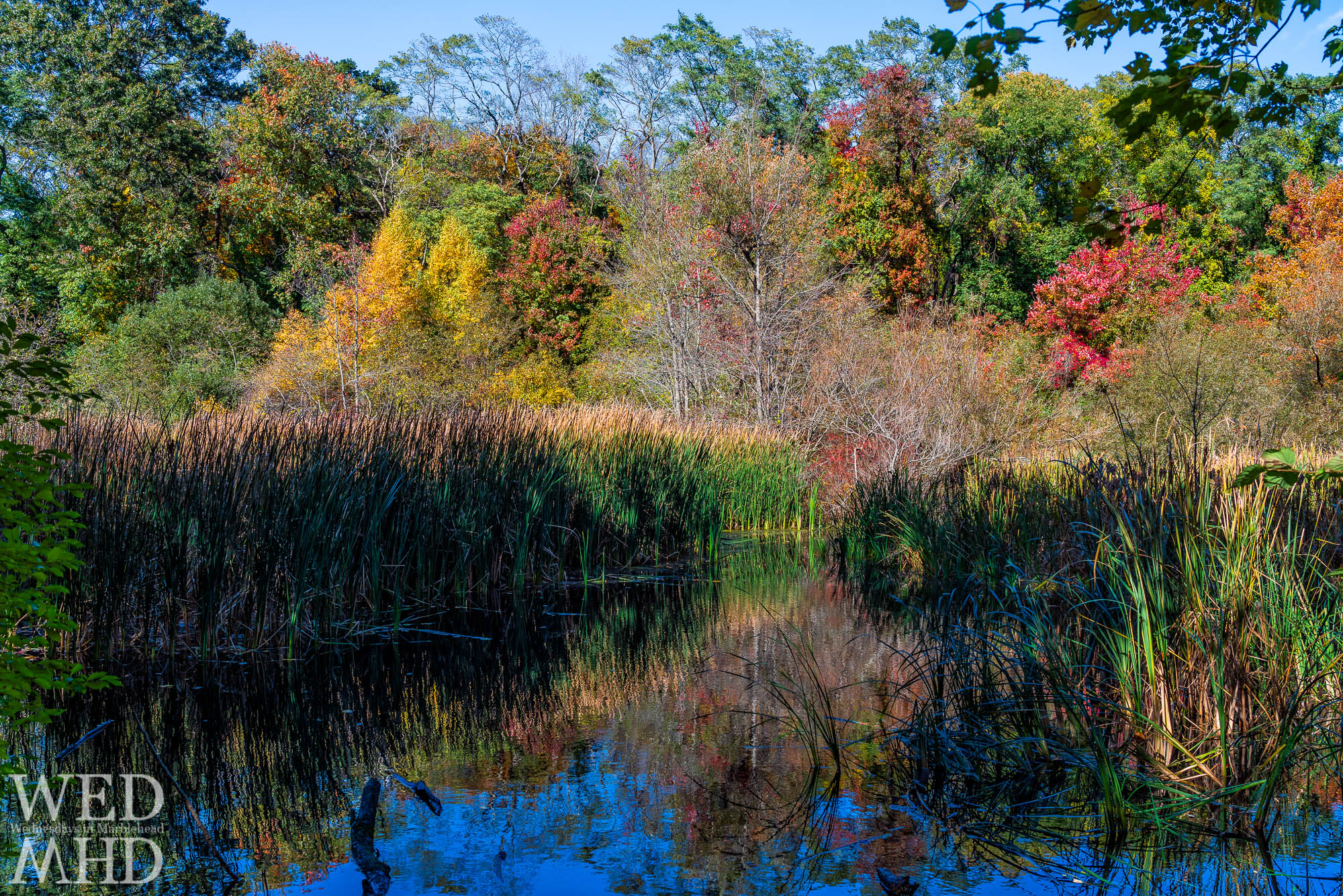 Peak color in the trees and grass at Hawthorn Pond highlight the beauty to be found in some secret locations in Marblehead