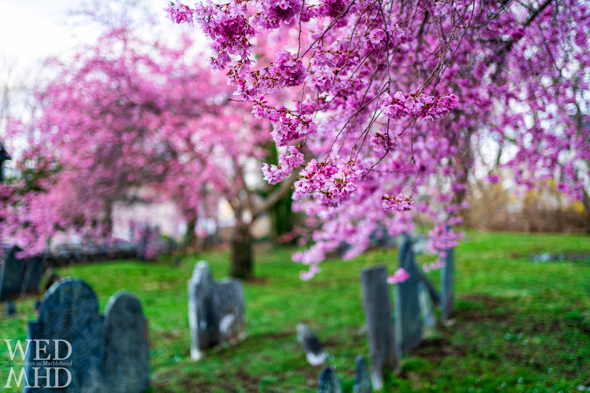 Peak blossoms captured amongst the tombstones at the Harris Street Cemetery in Marblehead
